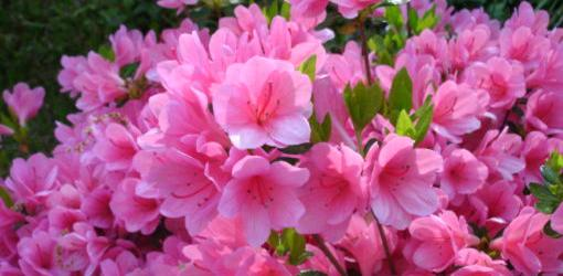 how-to-grow-azaleas-2